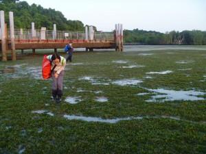 The Dugong feeding trail at Chek Jawa